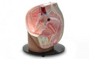 Female Pelvic Organs III